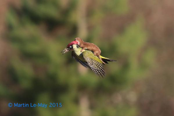 #WoodpeckerWeasel – Fascinating Story [photo] about a Weasel 'riding' a Woodpecker